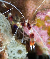 Banded boxer shrimp. &quot;Come on - just a little closer&quot;.